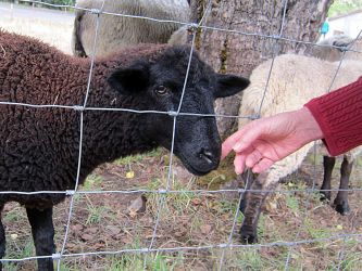 Black sheep (Barb's hand).